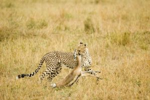 Cheetah 2 by turlough