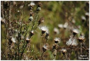 Thistles In The Fall by TheMan268
