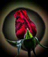 Magical Rosebud by Tailgun2009