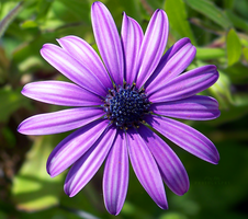 Purple Cape Daisy by sublimelove4life