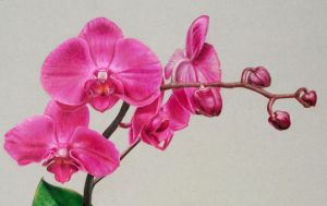Drawing Orchids by DMartIT