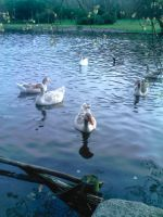 Ducks and Swans Stock by SusanaDS-Stocks