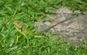 Common Green Forest lizard. (calotes calotus) by jennystokes