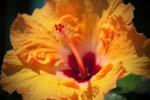 Hibiscus Flower by GregColl