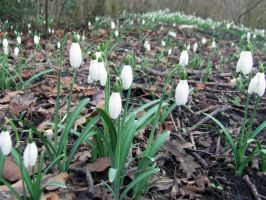 The First Snowdrops by marjol3in