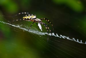 20071008-0496 Golden Orbweaver by Yellowstoned