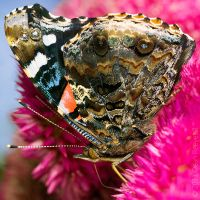 Red Admiral Butterfly by deanreevesii