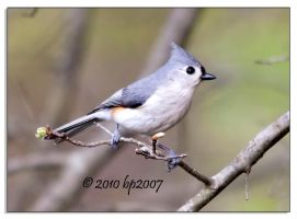 Tufted titmouse - 1 by bp2007