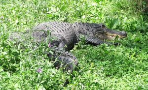 American Alligator Stock 2 by HOTNStock