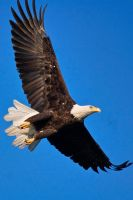 Morning Eagle by Merlinstouch