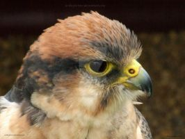 Lanner Falcon I by In-the-picture