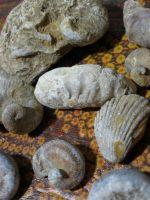 fossil mollusks by symbion-pandora