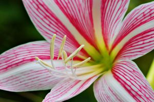 Lily flower 1 by a6-k