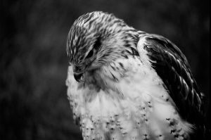 Ferruginous Rough Legged Hawk by DavidBComfort