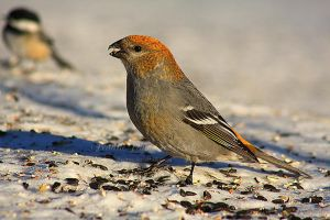 Female Pine Grosbeak by Sagittor