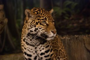 Jaguar Profile by Wallcrawler62
