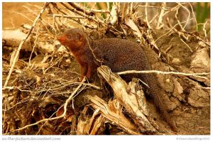 Dwarf Mongoose Camouflaged by In-the-picture