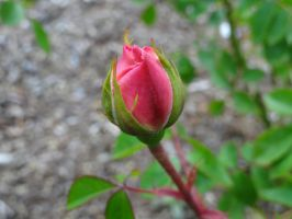 Rose Bud by SquishyPandaPower