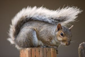 Squirrel 146: Studio portrait by EasternGraySquirrel