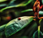 Lady Bug - HDR by enyaa