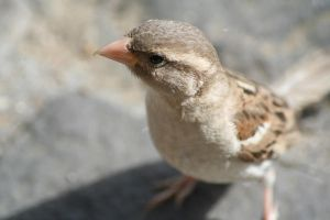 Sparrow by jitlen