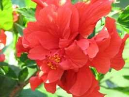 Fancy Hibiscus by picworth1000wrds