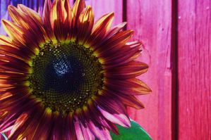 Sunflower IV by AppleBlossomGirl
