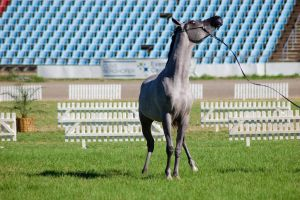 TW Arab darkgrey front on head up by Chunga-Stock