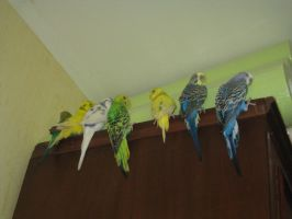 Parakeets/Budgies by mistty002