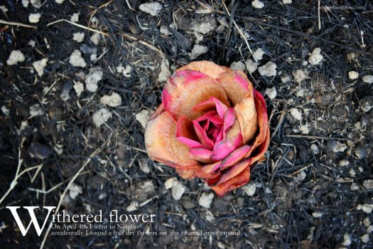 withered flower by rodgewan