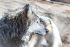Mexican Wolf Stock 35 by HOTNStock