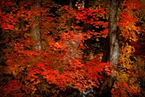 Fall Color Maple Leaves Autumn by houstonryan