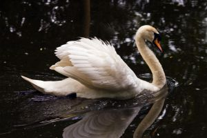 Swan 4 by Sycamorewest