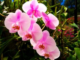 Pink orchid by ornis