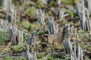 The mother, would be (Oriental Pratincole) by DebasishPhotos