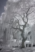Weeping Willow 2 by Dustspots