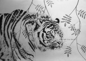 Tiger in graphite by BeckyKidus