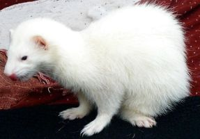 Ferret 6 Link by Penny-Stock
