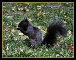 Elusive Black Squirrel by Justaminute