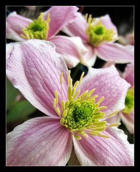 F.S. 18: Clematis n.2 by giuliame
