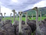 New Zealand Ostriches by AndySerrano