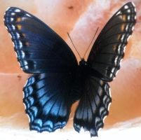 Red Spotted Purple 01 by Thy-Darkest-Hour