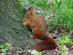 Wild animal 165 - red squirrel by Momotte2stocks