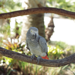 African Grey by MonsterBrand