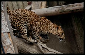 leopard: the hunter by morho