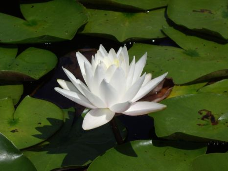 White Lotus by Shadowstep990