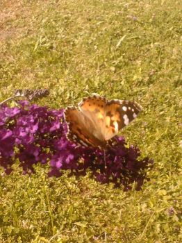 Butterfly my first I guess by RubyGamgee