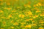 Field Of Yellow by Wild-Soul