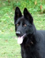 Donna -German Shepherd by the-other1