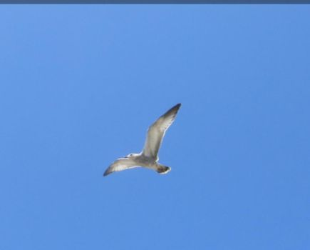 Flying Seagull by Dygyt-Alice